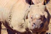 Excitement But No Danger When Rhino Gets Out At Henry Doorly Zoo
