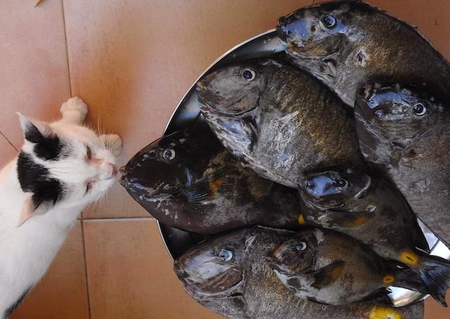 les poissons & le chat