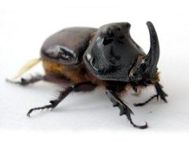 A large beetle.