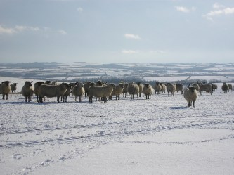 Hardy Exmoor sheep in the first snows