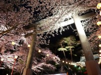 【鬼怒川】夜桜まつり
