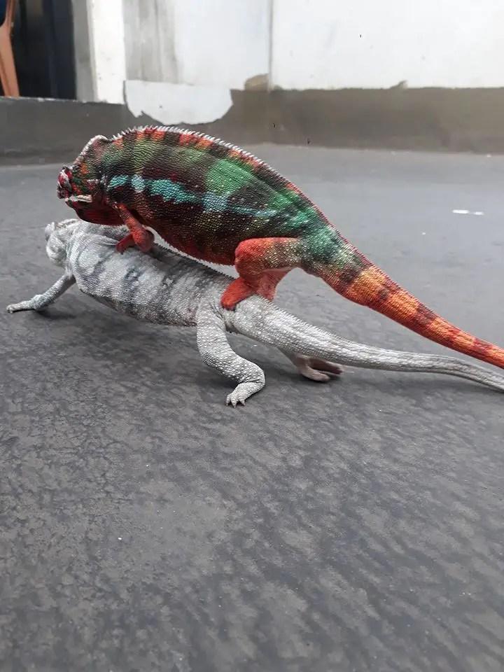 color of chameleon