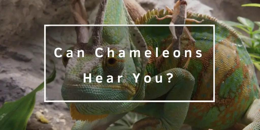 chameleon hear