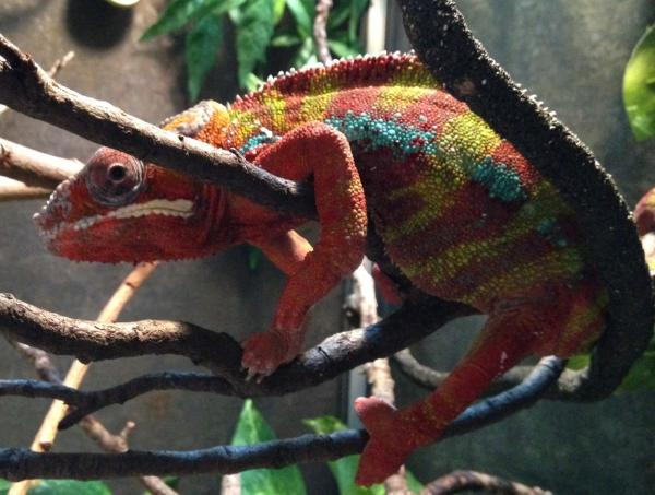gout chameleon