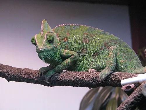 edema chameleon