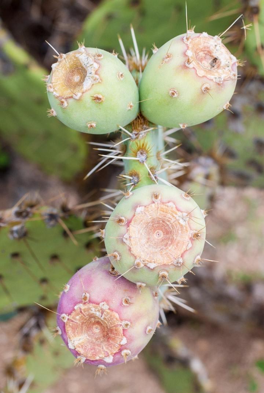 Prickly Pear Picking at Arizona Cactus Ranch