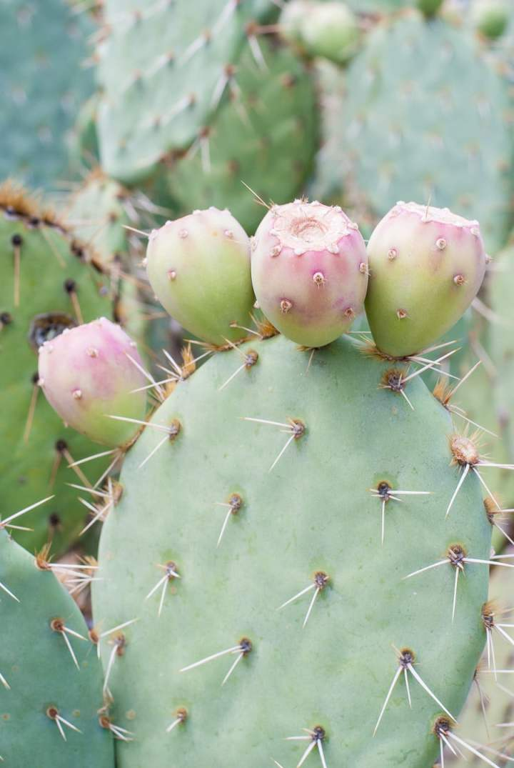 Prickly Pear Picking at Arizona Cactus Ranch
