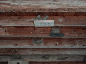 Swallow nests - some supported, some not - in the neighboring barnPhoto: PK Read