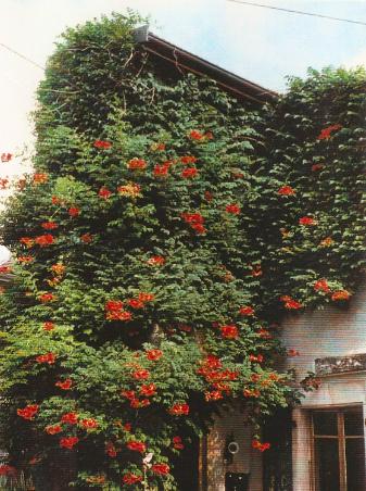 The trumpet vine in summer