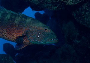 "The Red Sea roving coralgrouper (Plectropomus pessuliferus marisburi), which can use ""sign language"" to hunt.  CREDIT: Klaus Jost via University of Michigan's Animal Diversity Web & LiveScience"