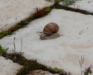 Garden snail (Helix aspersa) Photo: PK Read