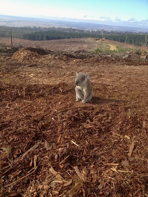 Koala in Vittoria State Forest, New South Wales Photo: © NSW WIRES via Treehugger