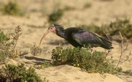 Northern Bald Ibis (Geronticus eremita) Image via WildlifeExtra.com