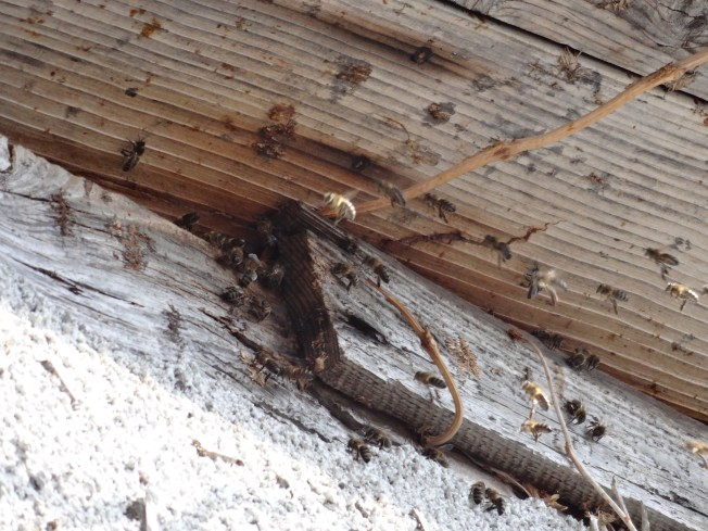 Honeybees under the eaves Photo: PK Read