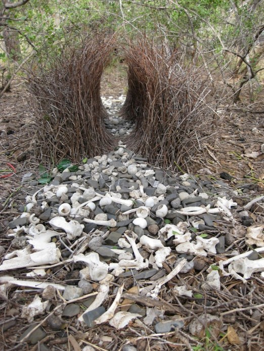A male bowerbird's gesso. Photo: L.A. Kelley/Science