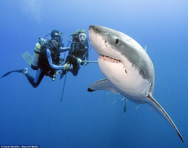 Deep sea photographer Daniel Botelho has logged 24-hours in total diving out of a cage with great white sharks. Photo: Botelho/Barcroft Media via DailyMail
