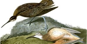 Wildlife artist John James Audubon's famous portrait illustration of two Eskimo curlews as seen during his 1833 research expedition to Labrador. Photograph by: Handout , Postmedia News