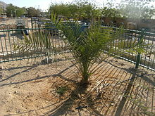 The Judean Date Palm at Kibbutz Ketura Photo: via Wikipedia