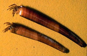Caddisfly cocoons made solely from their own silk. Image:  James C. Hodges, Jr.