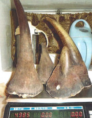 Horns of endangered black rhinos. According to the prosecutors in the Slattery case, the horns he sold were resold twice and tripled in price before leaving the U.S. Photo: US Attorney's Office - Eastern District of New York