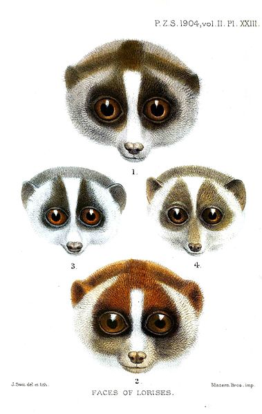 Loris faces Source: Wikipedia / Lydekker, R. (1904)