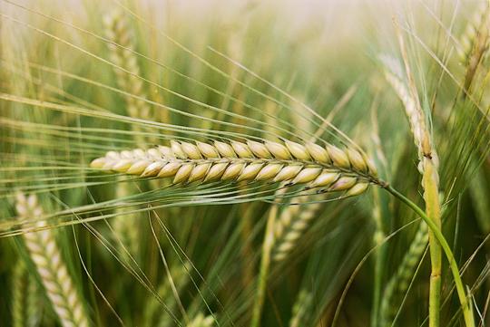 barley-field-3-lowres