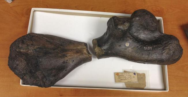 Ancient sea turtle bones found 163 years apart are a perfect match.  Photo: Drexel University