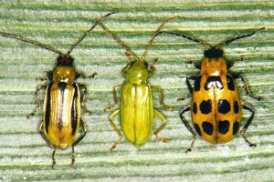 Mature corn rootworm beetles. Photo: Univ. of Nebraska/FreeGeorge