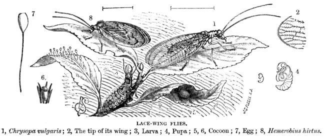 Lacewing lifecycle Source: Lydekker, R. (1879) via Wikipedia