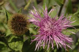 Wig knapweed (Centaurea phrygia subsp. phrygia), a WWII newcomer to Norway.