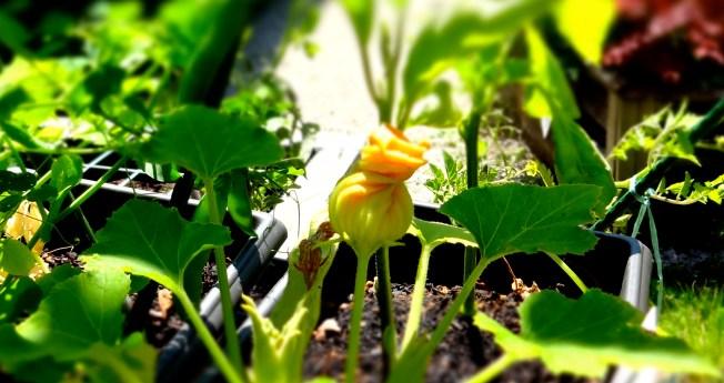A zucchini froth blossom.
