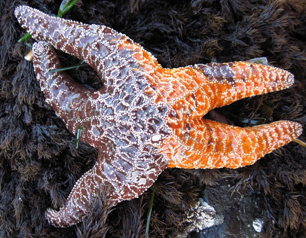 The disease forms lesions on the sea star, which eventually cause the limbs to dissolve. Sea star Pisaster ochraceus, the most commonly affected species, is pictured.  Photo : University of California, Santa Cruz, Dept. of Ecology and Evolutionary Biology