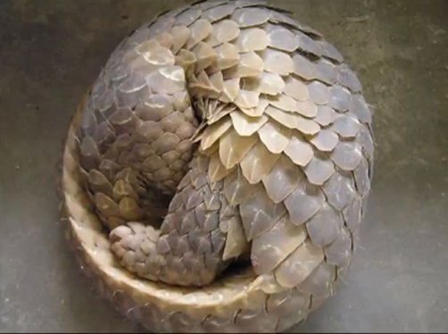 Pangolin in defensive position. Source: Project Pangolin