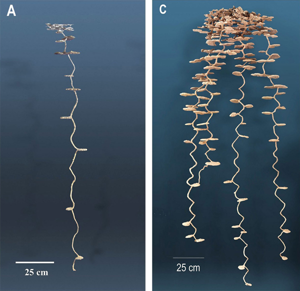 Some findings of interest – underground morphology varies among ant species, colonies may reach up to twelve feet in depth, and may hold up to 9,000 – 10,000 workers. Source: Tschinkel/DPages