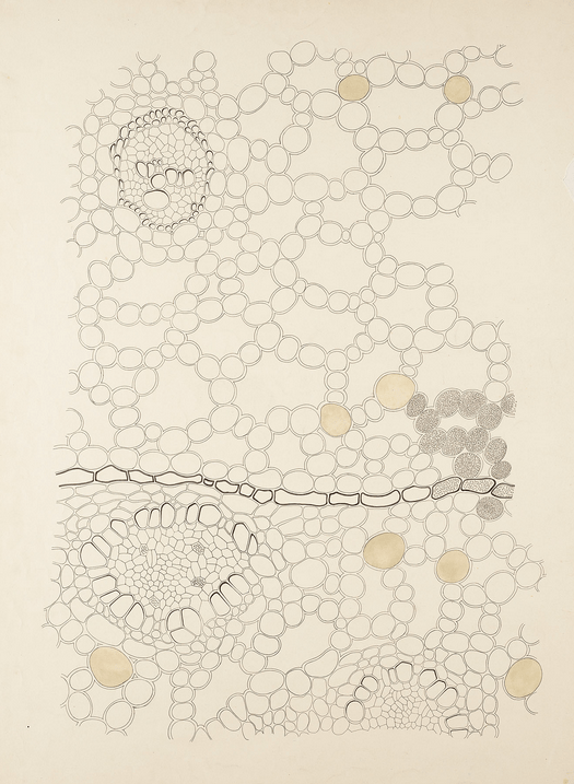 Acorus calamus. From The art of knowledge: educational botanical wall charts 1870 - 1960. Source: Stichting Academisch Erfgoed