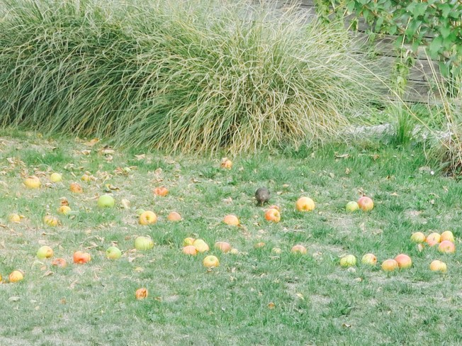 I leave the fallen apples on the ground between infrequent mowings - the birds love them. The brown spots on the lawn are the scars left from a very long and hot summer.