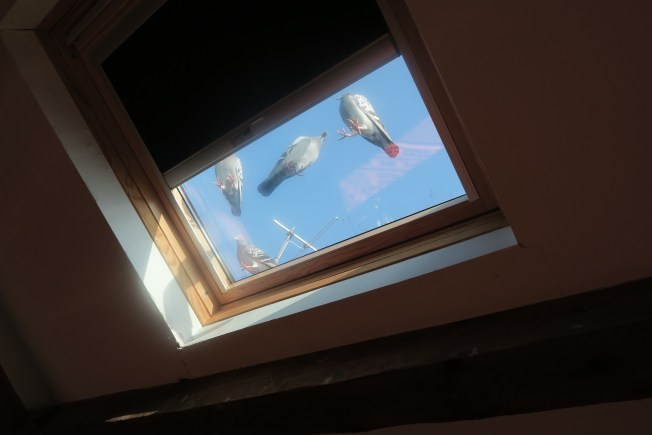 Five of a flock of seven homing pigeons trying to figure out their next steps. Photos: PK Read