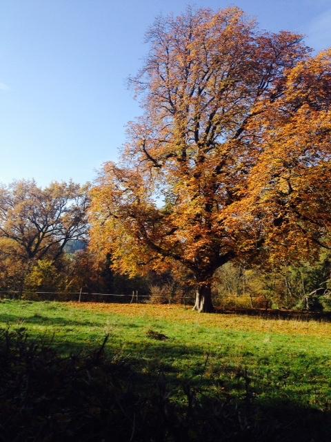 My favorite old oak tree. Photos: PKR