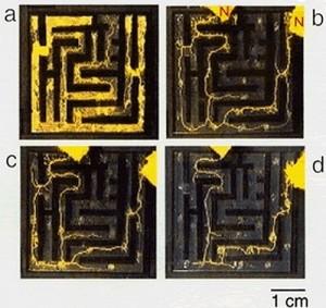 P. polycephalum finding the shortest path to a food source. Image: Via Forgetomori