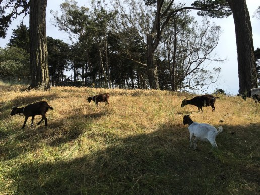 Goats provide mowing services as part of the City Graze project. Photo: PKR