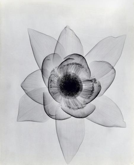 Lotus (ca. 1930), vintage gelatin silver print. All images are x-rays of single flowers taken by Dr. Dain L. Tasker, radiologist. Photo: Dr. Dain L. Tasker via oseph Bellows Gallery