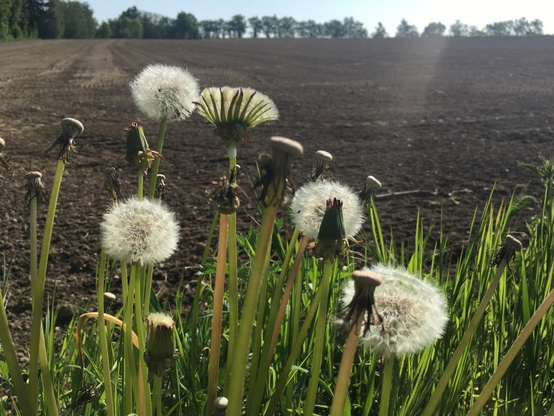 Dandelion heads, farming, agriculture,plowed field