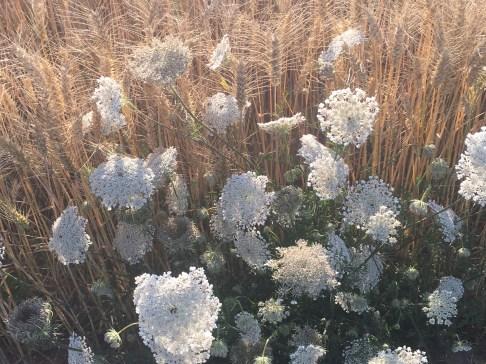 #wheat #wildcarrot #summer #sunshine #flowers #countryside #running #France