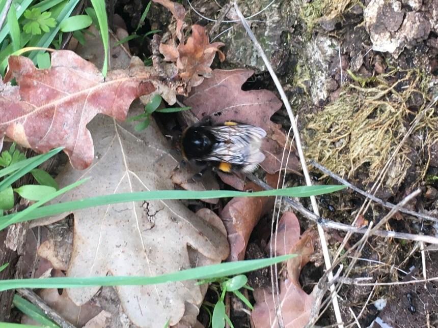 solitary bumblebee