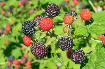 Raspberry Daiquiri (Virgin)