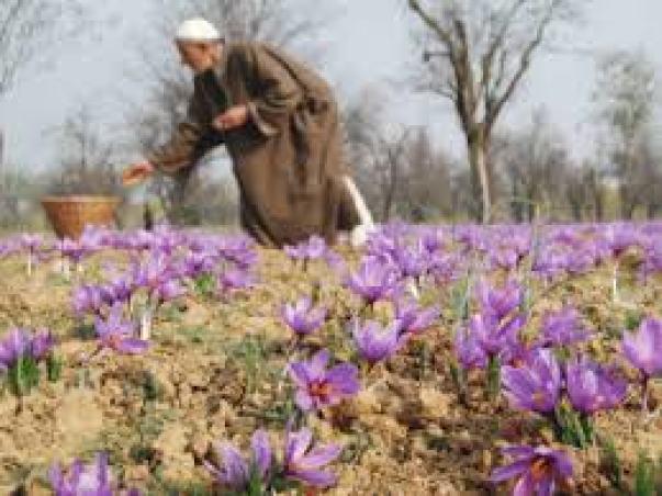 Iran, Hy Lạp, Maroc và Kashmir thủ phủ trồng và sản xuất saffron