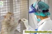 Thái Lan thử thành công vaccine COVID-19 trên khỉ và chuột