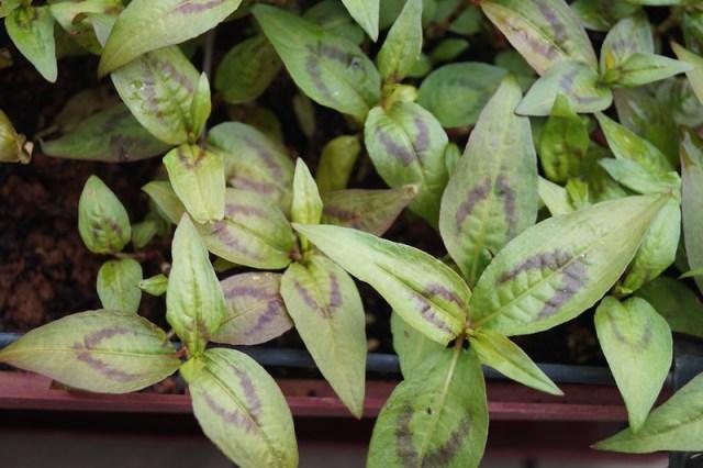 coriandre vietnamienne aromatique