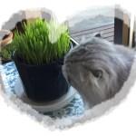 ねこ草の種まきと管理方法!寒い冬でも草が食べたいにゃん。