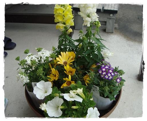 春の寄せ植え、苗を仮置きします。